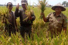 Realisasi panen padi petani Langkat 50,20 persen