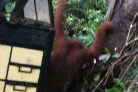 Perkebunan sawit ancaman bagi Orangutan Tapanuli Selatan