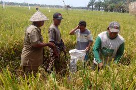 Panen padi petani Langkat 63,81 persen