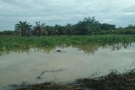 191 hektare tanaman padi di Langkat terendam banjir