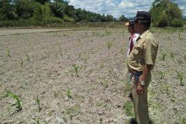 Dinas Pertanian Samosir klarifikasi kasus bibit rusak
