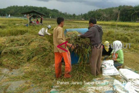 Panen padi varietas inpari di Labuhanbatu