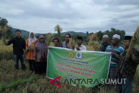 Panen raya padi sawah di Tapanuli Selatan