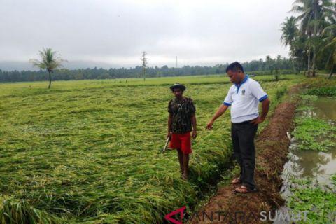 Belasan hektare tanaman padi rusak disapu angin kencang