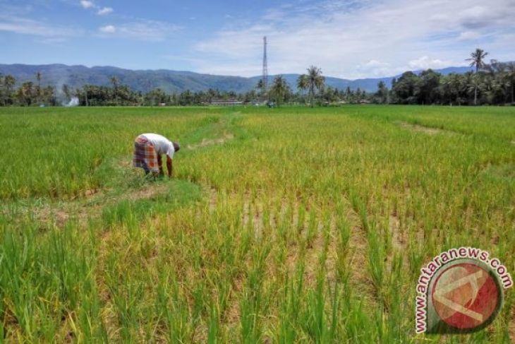 Rencana panen padi sawah Langkat 91.085 hektare