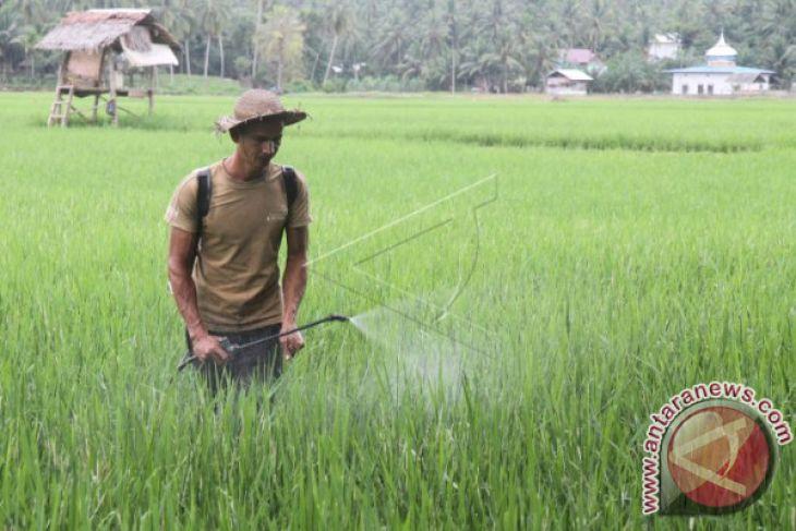 21 Hektare  Padi Diserang Hama