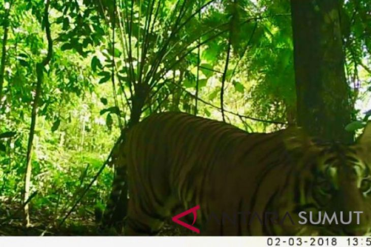 Sepasang Harimau Sumatera ditemukan di Tobasa