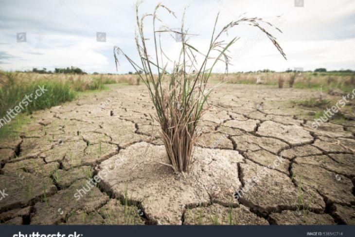 Tanaman padi petani Samosir kekeringan