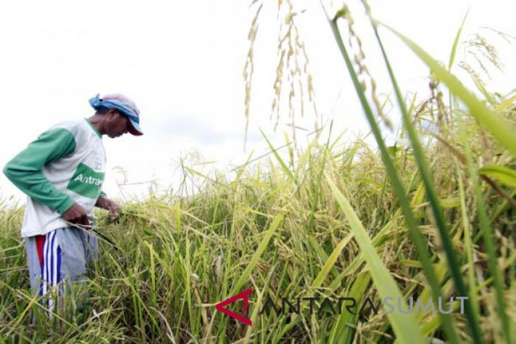 Langkat penyumbang terbesar padi di Sumut