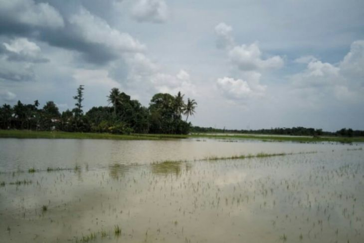 118 hektare tanaman padi terendam banjir