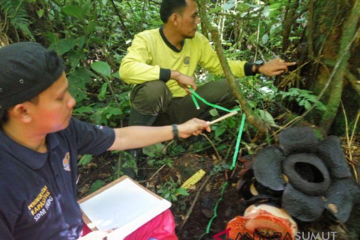 Bunga Rafflesia tumbuh di Taman Nasional Batang Gadis