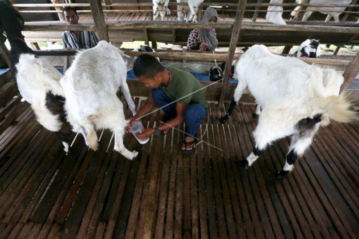 Dinas Ketahanan Pangan Tapanuli Selatan salurkan kambing etawa untuk poktan