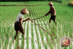 Bone Bolango Kekurangan Tenaga Penyuluh Pertanian