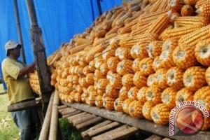 Hasil Panen Petani Jagung Kabupaten Gorontalo Turun