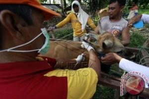 Ternak Sapi Gorontalo Disuntik Vaksin Antrax