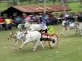 Lomba Karapan Sapi di Desa Yosonegoro