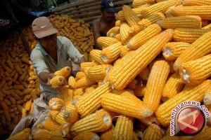 Bulog Siap Beli Jagung Petani Sulut-Gorontalo