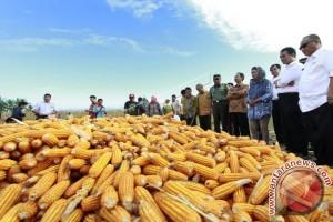 Menpan Panen Raya Jagung Di Gorontalo