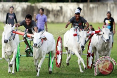 Lomba Karapan Sapi Memeriahkan HUT Provinsi Gorontalo