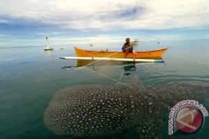 Pesona Hiu Paus di Pantai Botubarani
