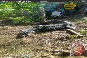 Buaya Muara Gorontalo Utara Potensi Pariwisata