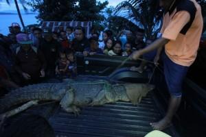 BKSDA Amankan Buaya Tangkapan Nelayan Gorontalo Utara