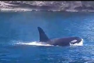 Paus Orca Empat Kali Terlihat Di Perairan Gorontalo