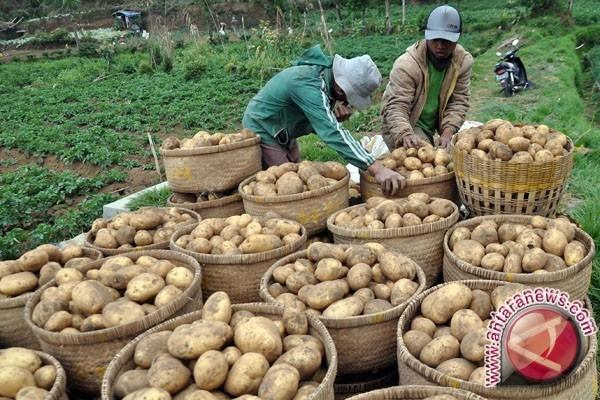 Kerinci akan kuasai pasar kentang Sumatera