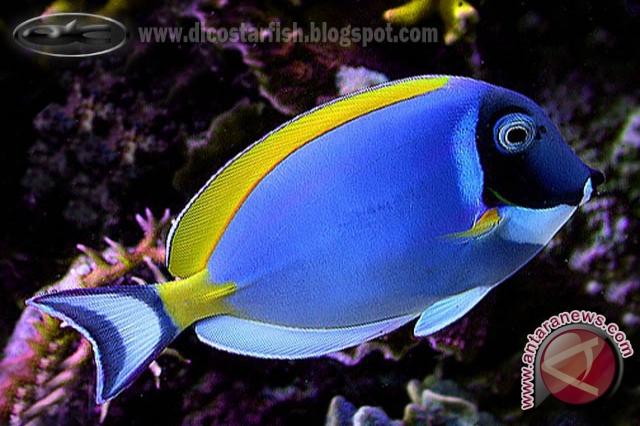 Related to Foto gambar ikan hias air tawar, laut, cupang, koi, dll