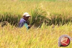 Produksi beras Batanghari berkurang karena alihfungsi lahan