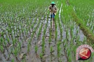 Program cetak sawah di Jambi dikurangi 1.100 hektare