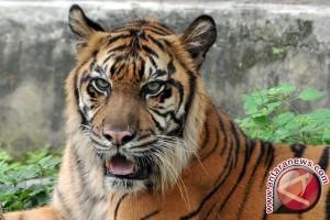 Harimau Sumatera Berfungsi Menjaga Keseimbangan Ekosistem