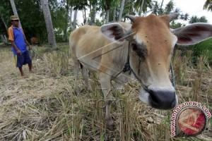 Pejabat: Populasi Sapi-Kerbau Jambi Masih Minim