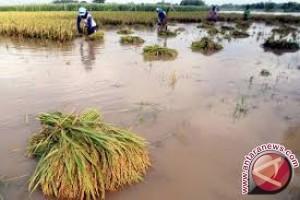 Ratusan hektare padi terendam banjir di Sarolangun