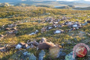 Badai kilat tewaskan ratusan rusa kutub di Norwegia