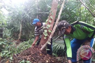 Bertani di Hutan Gambut