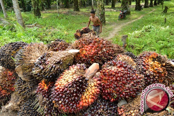 CPO price drops sharply in Jambi