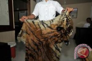 Dua tersangka perdagangan kulit harimau masih diperiksa