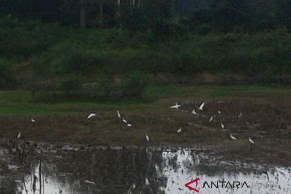 Kawanan burung bangau di danau kering