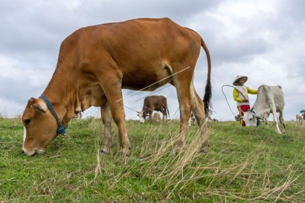 BPPT-CID kaji penggembalaan sapi di perkebunan sawit