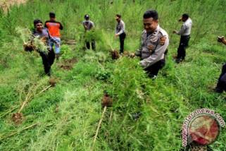 Tim gabungan temukan ladang ganja tujuh hektare