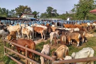 Sapi Bali lebih diminati untuk hewan qurban