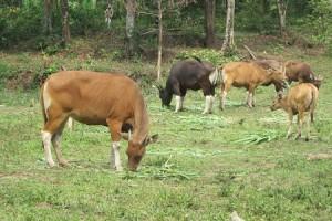 Taman Safari Prigen Kembangkan Sapi