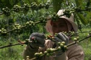 E Java Coffee Exporters Urge Govt to Scrap 10 Percent VAT