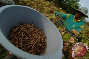 Produksi Kacang Hijau Turun