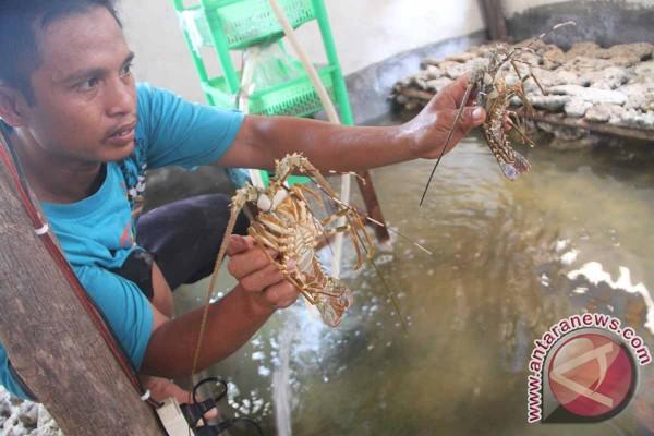 Polisi Lepasliarkan Ribuan Benih Lobster di Teluk Popoh