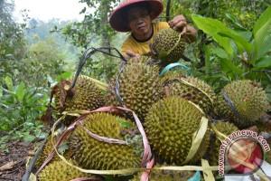 Ribuan Warga Berebut Durian Gratis