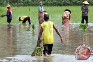 Tanam Padi di Lahan Banjir