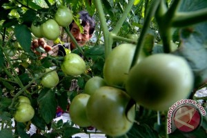 Harga Tomat di Madiun Capai Rp11.000/Kg