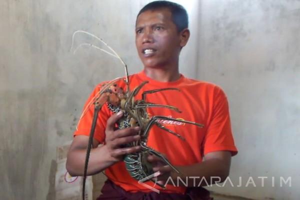 Tangkapan Udang Lobster Nelayan di Jember Berkurang